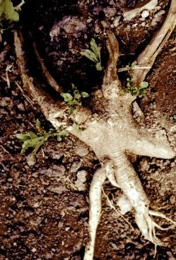 poke root5